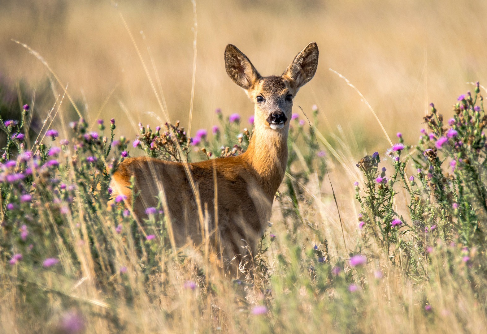 Roe Deer are protected in Moldova